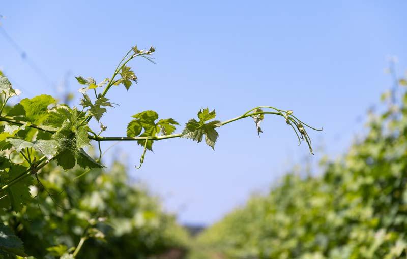 Produciamo vini da agricoltura sostenibile